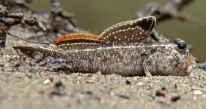 Indian Mudskipper (Periophthalmus Septemradiatus)