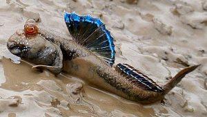 West African Mudskipper (Periophthalmus barbarus)
