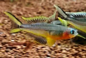 Forktail Rainbow (Pseudomugil furcatus)