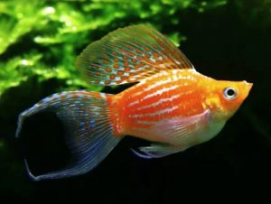 Ornate Sailfin Baloon Molly (Poecilia latipinna)