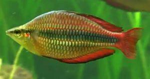 Axelrodi Rainbow (Melanotaenia herbertaxelrodi)