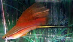 Hi Fin Neon Swordtail (Xiphophorus helleri)