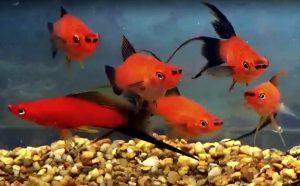 Red Wag Swordtails (Xiphophorus helleri)