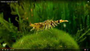 Tiger Bee Shrimp (Caridina cf. cantonensis)