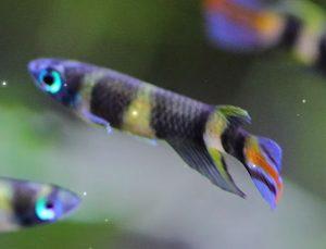 Clown Killifish (Pseudepiplatys annulatus)