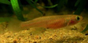 Red Striped Killifish (Aphyosemion striatum) female