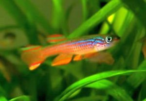 Red Striped Killifish (Aphyosemion striatum)