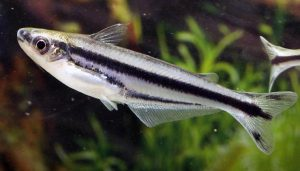 Debauwi Catfish (Pareutropius debauwi)