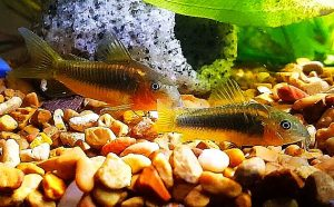 Orange Laser Cory (Corydoras aeneus) pair