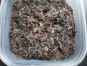 Grindal Worm (enchytraeus Buchholzi)