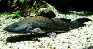 Leopard Catfish (Perrunichthys perruno)
