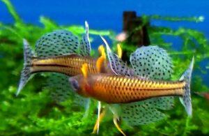 Gertrudae Rainbow (Pseudomugil gertrudae) Males