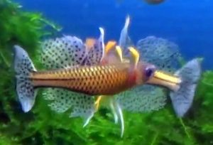 Gertrudae Rainbow (Pseudomugil gertrudae)
