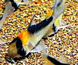 Adolfo's Cory (Corydoras Adolfoi)