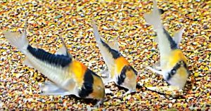 Adolfo's Cory Group (Corydoras Adolfoi)