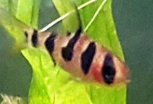 Rhombo Barb (Desmopuntius rhomboocellatus)