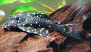 Flash Pleco (Panaqolus albivermis) L204
