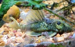 Green Phantom Pleco (Hemiancistrus subviridis) L200