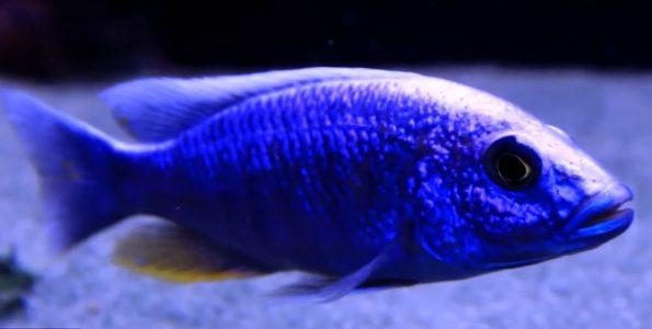 "Electric Blue Ahli (Sciaenochromis Fryeri) ""Maleri Island"""
