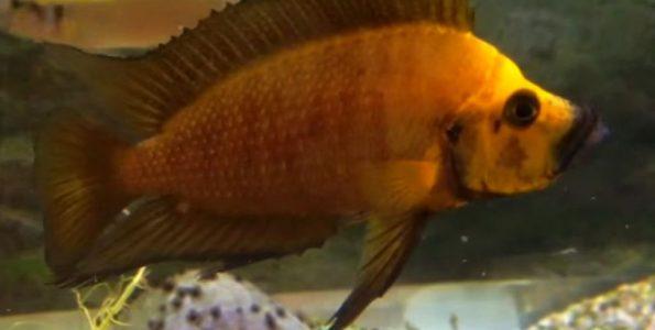 Gold Head Compressiceps (Altolamprologus compressiceps) Female