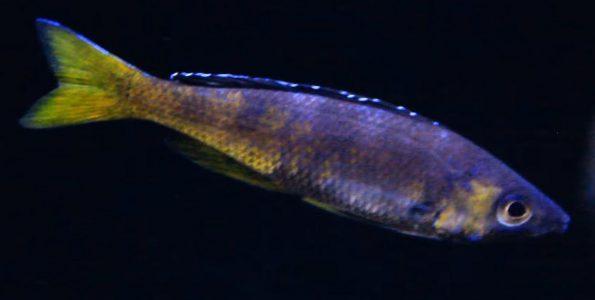 Sardine Cichlid (Cyprichromis leptosoma)