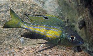 Aulonocranus-dewindti-Muzi-Polombwe-Bay