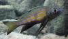 Aulonocranus-dewindti