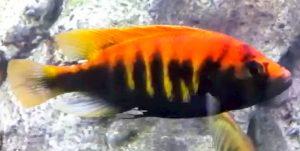 Crimson Tide Cichlid (Pundamilia nyererei)