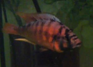 "Fire Red Uganda Cichlid (Haplochromis s. ""fire"")"