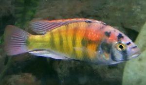 Ruby Green Cichlid (Haplochromis sp. Ruby Green)