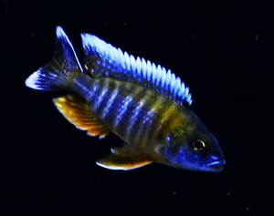 African Butterfly Peacock Cichlid (Aulonocara jacobfreibergi)