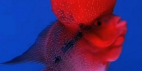 Super Red Dragon Flowerhorn