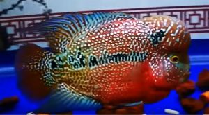 Kamfa Flowerhorn Cichlid