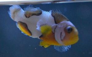 Fin Rot in Clownfish