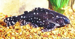 Spotted Raphael Catfish (Agamyxis pectinifrons)
