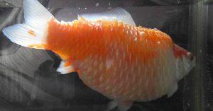 Dropsy in Goldfish