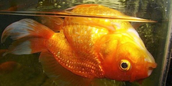 Swim Bladder Disease in Oranda