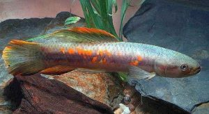Rainbow Wolf Fish (Erythrinus erythrinus)