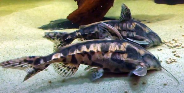Giant Raphael Catfish (Megalodoras uranoscopus)