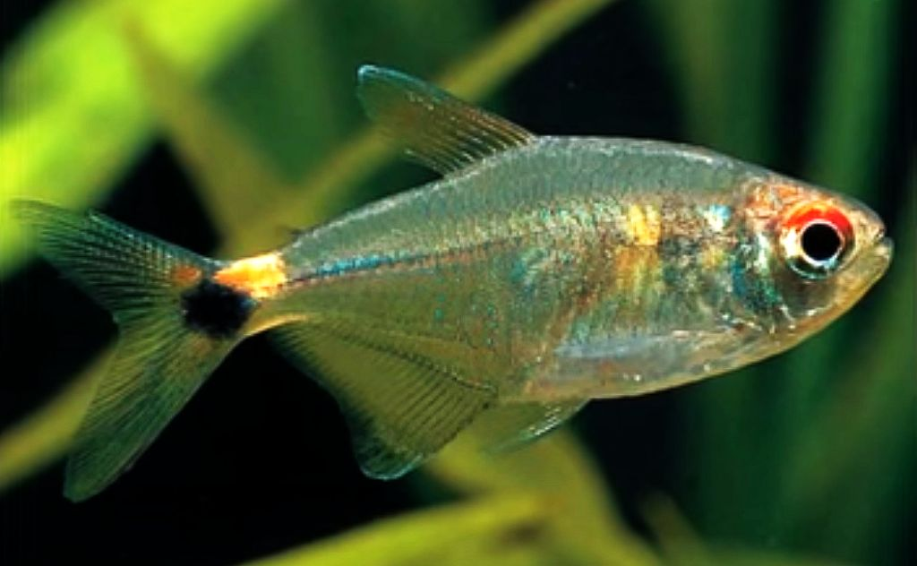 Head and Tail Light Tetra (Hemigrammus ocellifer)