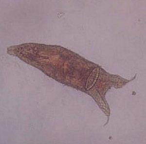 Skin Fluke (Gyrodactylus)