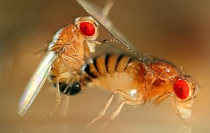 Fruit Flies (Drosophila melanogaster) mating