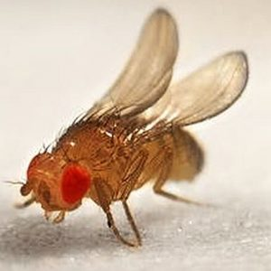 Fruit Flies (Drosophila melanogaster)