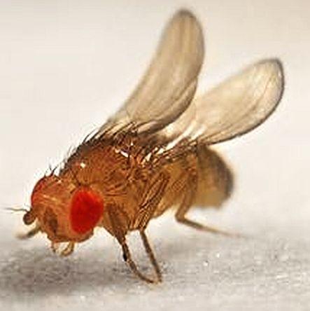Fruit Flies (Drosophila melanogaster)