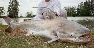 Paroon Shark (Pangasius sanitwongsei)