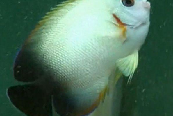 Half Black Angelfish (Centropyge vroliki)