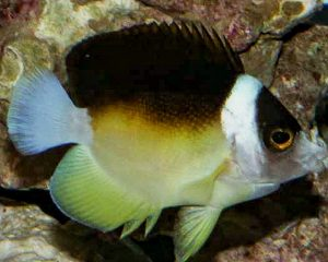 Abei Angelfish (Centropyge abei)