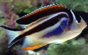 Bellus Angelfish (Genicanthus bellus) Female