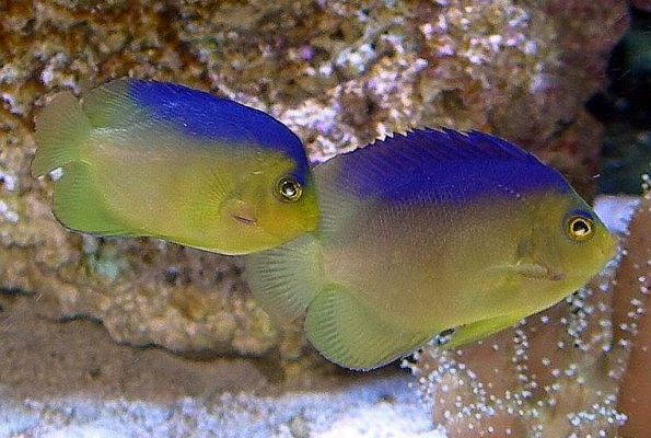 Blue Back Angelfish (Centropyge colini) Pair