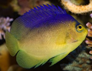 Blue Back Angelfish (Centropyge colini)